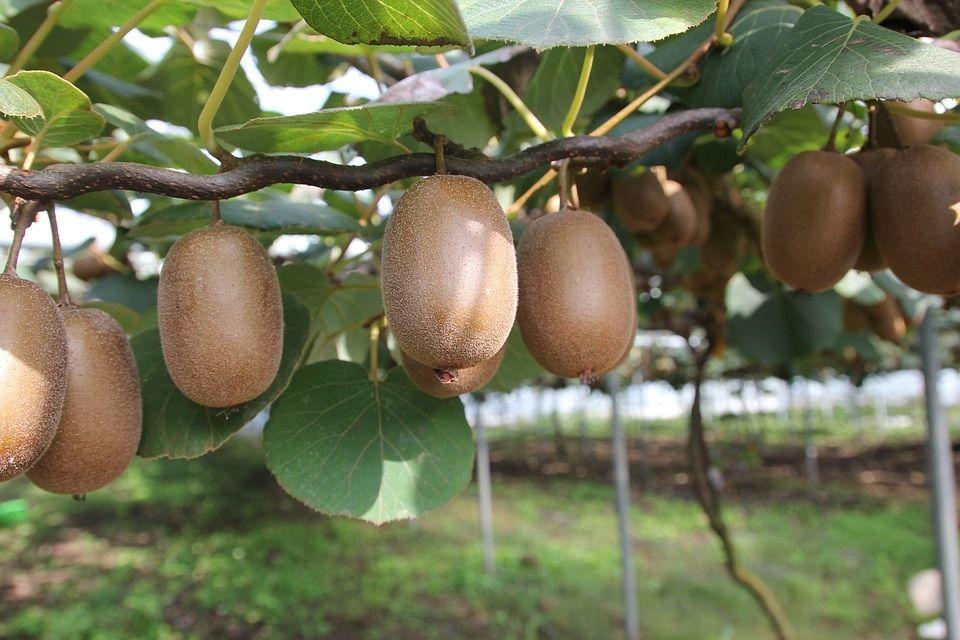 aktinidia mini kiwi