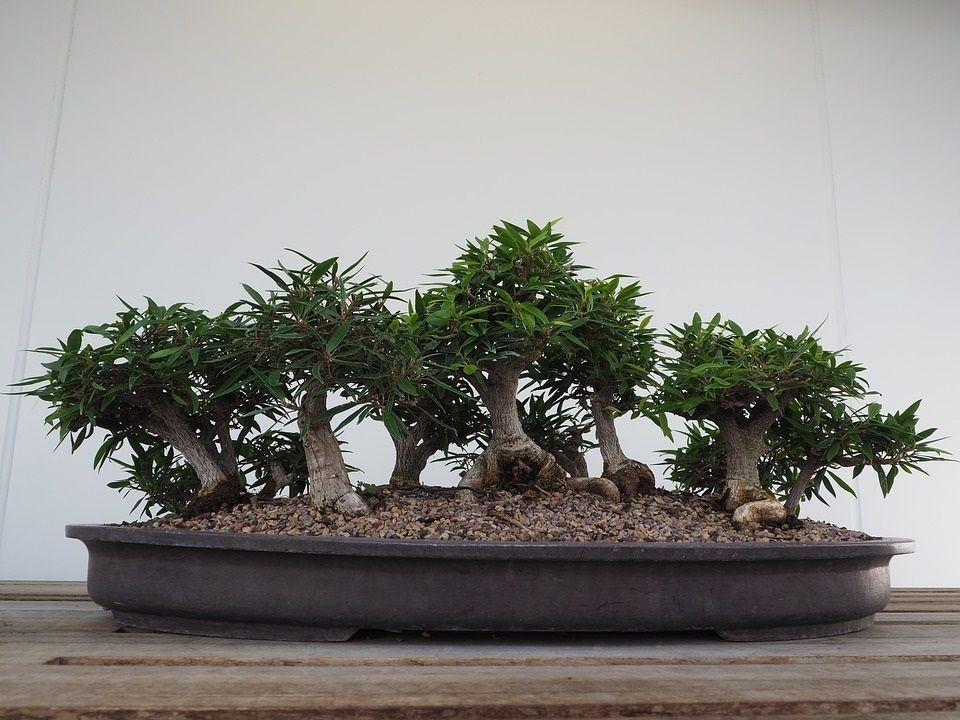 bonsai przesadzanie